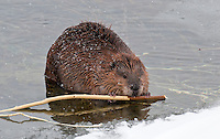 Beaver in water eating (Castor canadensis), Yellowstone National Park, Wyoming, USA