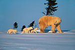 Polar Bear and cubs, Churchill, Manitoba, Canada