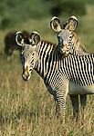 Grevy's Zebra, Samburu National Reserve, Kenya