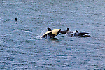 Killer Whales in Johnstone Strait off of Vancouver Island, Inside Passage, British Columbia, Canada
