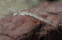438500006 a wild desert iguana dipsosaurus dorsalis perches on a rock in darwin canyon inyo county california