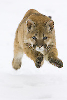 Puma kitten running across the snow - CA