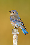 A western bluebird perches atop a short pipe
