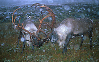 Wild reindeer, Norway