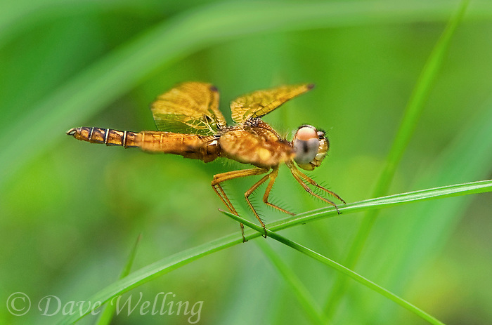 304560002 a wild adult male eastern amberwing perithemis tenera perches on a plant stem in the pine forest near jasper texas