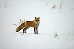 Red Fox in snow, Vulpes vulpes schrencki, Hokkaido, alert, looking, bushy tail, fur.Japan....