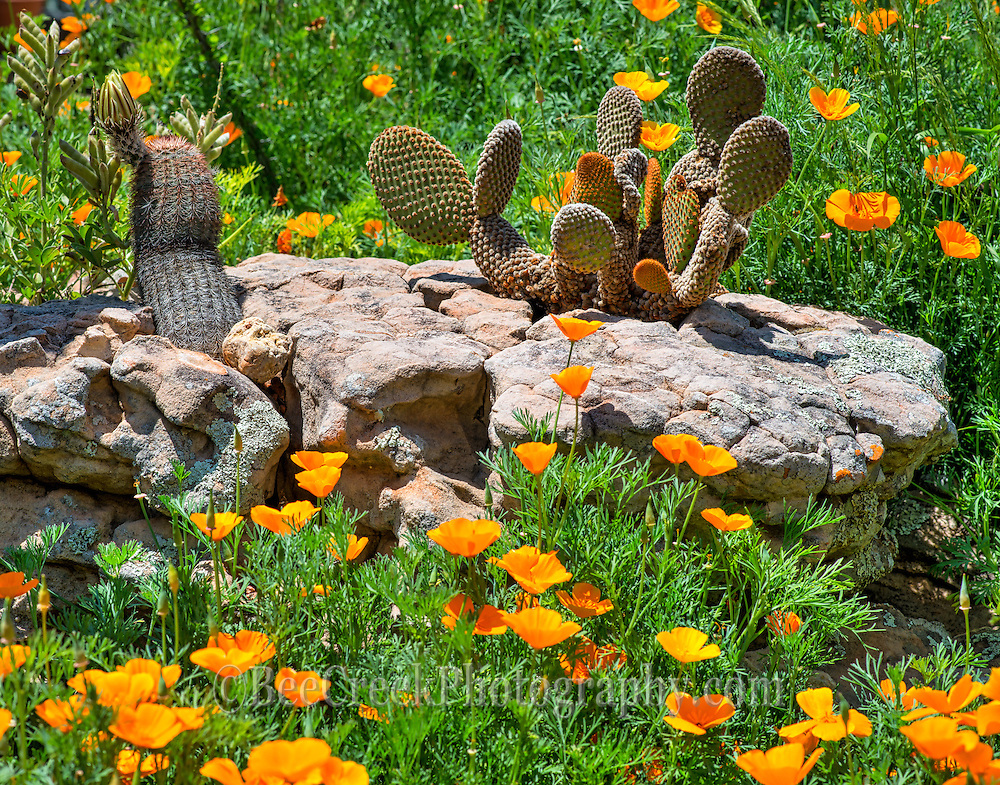 Poppies with catus