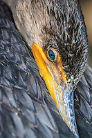 Close up picture of a Cormorant  burying it's beak in its feathers.