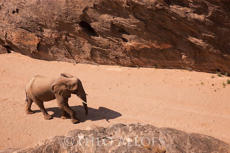 Namibia;  Namib Desert, Skeleton Coast,  desert elephant (Loxodonta africana) walking through canyon in dry river bed