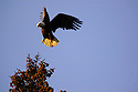 Bald eagle lifting off spruce tree. Yaak Valley in the Purcell Mountains, northwest Montana.