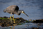 White faced heron whipping some food from the water.....I had to work at getting thise close to this bird with a 400mm lens - Herons and egrets are very jumpy birds. I spent about half an hour edging over closer across the rocks until I was shooting portraits.Taken near Port Arthur, Tasmania. ......The White-faced Heron, Egretta novaehollandiae, (formerly Ardea novaehollandiae), often known incorrectly as the Grey Heron, is a common bird throughout most of Australasia, including New Guinea, the islands of Torres Strait, Indonesia, New Zealand, the islands of the sub-Antarctic, and all but the driest areas of Australia. It is a relatively small heron, pale, slightly bluish-grey in colour, with yellow legs and white facial markings. It can be found almost anywhere near shallow water, fresh or salt, and although it is prompt to depart the scene on long, slow-beating wings if disturbed, it will boldly raid suburban fish ponds...http://en.wikipedia.org/wiki/White-faced_Heron
