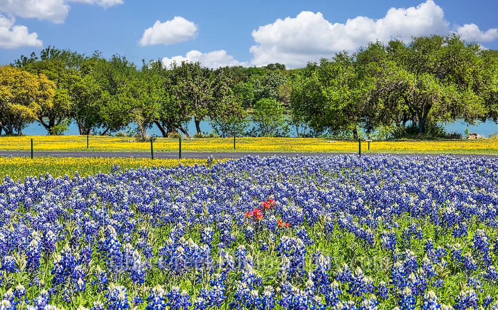 A great field of Texas bluebonnets with other wildflowers like the yellow perky sues and indian paintbrush for a pop of red.  I focus on this patch of wildflowers because you can see the small bunch of indian paintbrush and then a lush field of bluebonnets with yellow perky sues in front toward the river in the hill country of Texas.