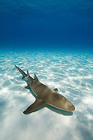 Lemon Shark, Negaprion brevirostris, West End, Grand Bahama, Bahamas, Atlantic Ocean.