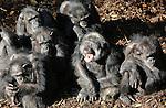 Foto: VidiPhoto<br /> <br /> ARNHEM - Een berg verse boomschors is voor de chimpansees van Burgers' Zoo in Arnhem vrijdag de perfecte plek om te genieten. Nog dichterbij de toch al warme herfstzon. Bovendien wordt zo de schors lekker voorverwarmd voordat die komende week in het winterverblijf van de chimpen wordt gestrooid. Omdat de temperaturen gaan dalen en het weer een herfstachtig karakter krijgt, zal de chimpanseegroep over enkele dagen alleen nog maar binnen te zien zijn.