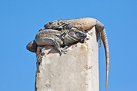 Iguanas, San Blas, Mexico