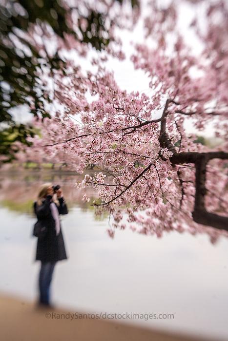 Cherry Blossoms Tidal Basin Washington DC