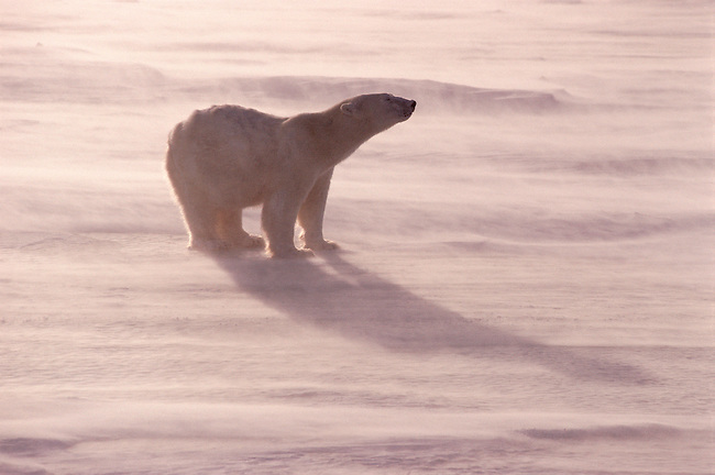 Polar bear walks across sea ice in a wind, snow blows around his feet, snow mats his fur. Churchill. Canada.