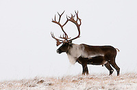 Caribou (Rangifer tarandus) bull in winter, Alaska, USA