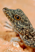 Rock Gecko head (Pristurus insignoides) endemic to Socotra, Yemen.