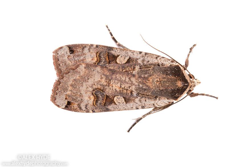 Large Yellow Underwing moth male {Noctua pronuba} | Alex Hyde