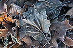 Frost covered leaves.  ©2013. Jim Bryant Photo. All Rights Reserved.
