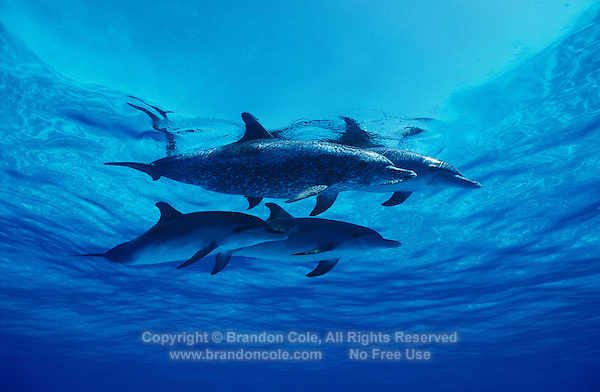ku11171. Atlantic Spotted Dolphins (Stenella frontalis)..Photo Copyright © Brandon Cole. All rights reserved worldwide.  www.brandoncole.com..This photo is NOT free. It is NOT in the public domain. This photo is a Copyrighted Work, registered with the US Copyright Office. .Rights to reproduction of photograph granted only upon payment in full of agreed upon licensing fee. Any use of this photo prior to such payment is an infringement of copyright and punishable by fines up to  $150,000 USD...Brandon Cole.MARINE PHOTOGRAPHY.http://www.brandoncole.com.email: brandoncole@msn.com.4917 N. Boeing Rd..Spokane Valley, WA  99206  USA.tel: 509-535-3489