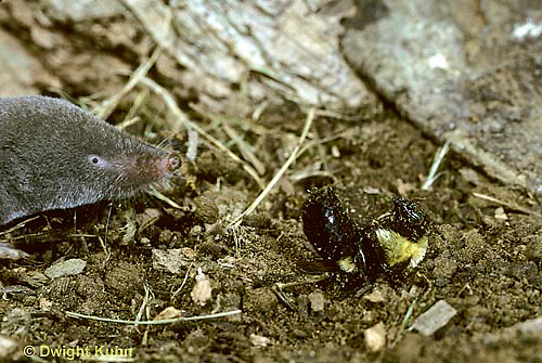 BU37-004z  Bumblebee - short-tailed shrew attempting to eat queen near nest - Bombus spp.