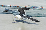 Kelp gulls steal fish trapped in a trek-net fisher net, Strandfontein beach, False Bay, Cape Town, Western Cape, South Africa