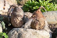 Filz-Stein-Trolle, Steine werden mit gefilzter Wolle, Filz geschmückt, Mütze aus Filzwolle, Steinmännchen als Gartenschmuck im Beet, Kräuterbeet, Steingarten, Trolle mit Filzmütze