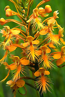 Orange fringed orchid close-up in its natural environment in North-Central Florida.