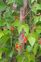 Phaseolus coccineus Scarlet Runner Beans