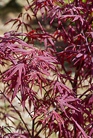 Acer palmatum 'Crimson Prince' in spring, Japanese Maple tree with purple red foliage leaves