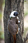 Radio-collared wild Cotton-top tamarin (Saguinus oedipus). Colombia.<br /> <br /> IUCN List: Critically Endangered