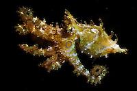 Caribbean reef octopus, Octopus briareus, Mexico.