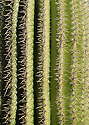 Rows of thorns protect the plump ridges of a saguaro cactus in Organ Pipe Cactus National Monument, AZ.