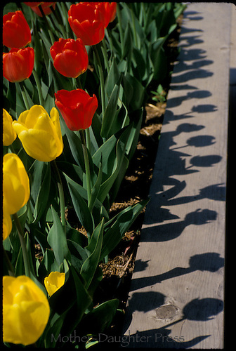 Red and yellow tulips planted along a sidewalk are shadowed in the sunlight