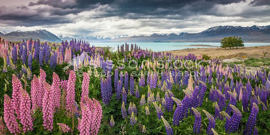 Mass of Lupin blooms at Lake Tekapo, Mackenzie Country, South Island,New Zealand - stock photo, canvas, fine art print