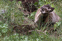 American Badger (Taxidea taxus). This young badger was digging for ground squirrels but came up empty.