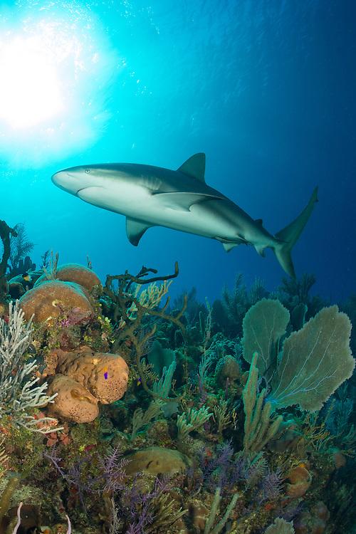 Caribbean reef shark: Carcharhinus perezi swimming over a reef in Jardines de la Reina (Gardens of the Queen), Cuba