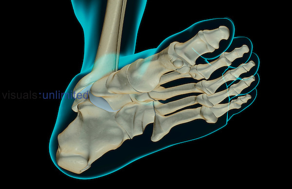 An inferior view of the bones of the foot. The surface anatomy of the body is semi-transparent and tinted green. Royalty Free