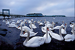 Swans gathering in front of the Helgoland Bath House at Amager Strand, Denmark