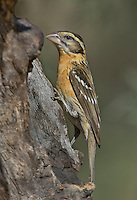 538660009 a wild female black-headed grosbeak pheucticus melanocephalus perches on a tree in madera canyon green valley arizona united states
