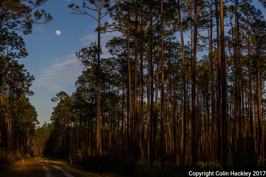 SOPCHOPPY, FLA. 3/10/17-A nearly full moon climbs over the Apalachicola National Forest near Sopchoppy, Fla. <br /> <br /> <br /> COLIN HACKLEY PHOTO