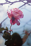 Close up shot of a pink dying rose