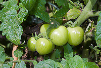 Cherry tomatoes, green, not yet ripe, growing on plant vegetable vine, young fruits in a cluster