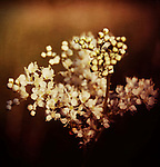 Close-up of white field flower on brown/sepia background with vintage texture.
