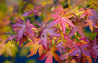 Maple leaves changing colour  in autumn in England