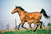 Quarter horses- registered, Bays, Mother and new foal running beside each other spring Midwest