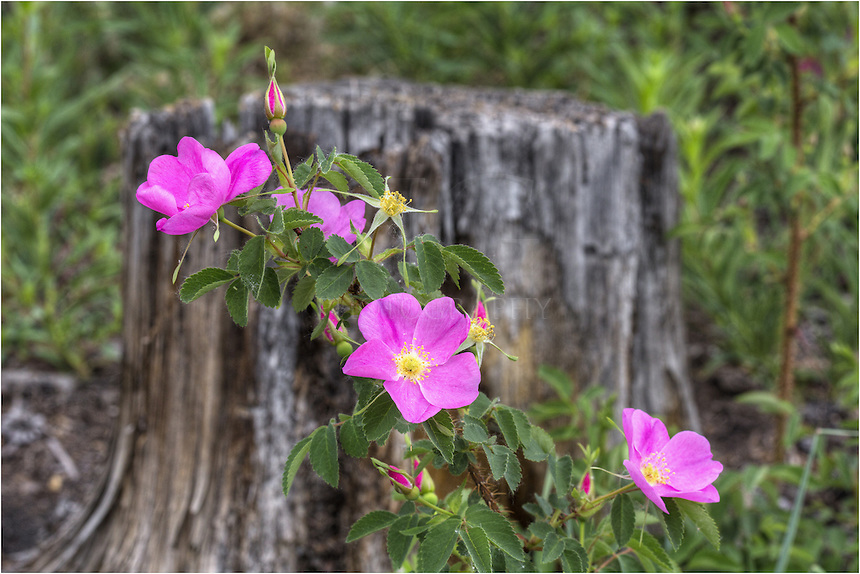 The wild mountain rose adorns the forest floor each summer in the Rocky Mountains.