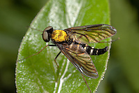 Golden-backed Snipe Fly (Chrysopilus thoracicus) - Male, Ward Pound Ridge Reservation, Cross River, Westchester County, New York